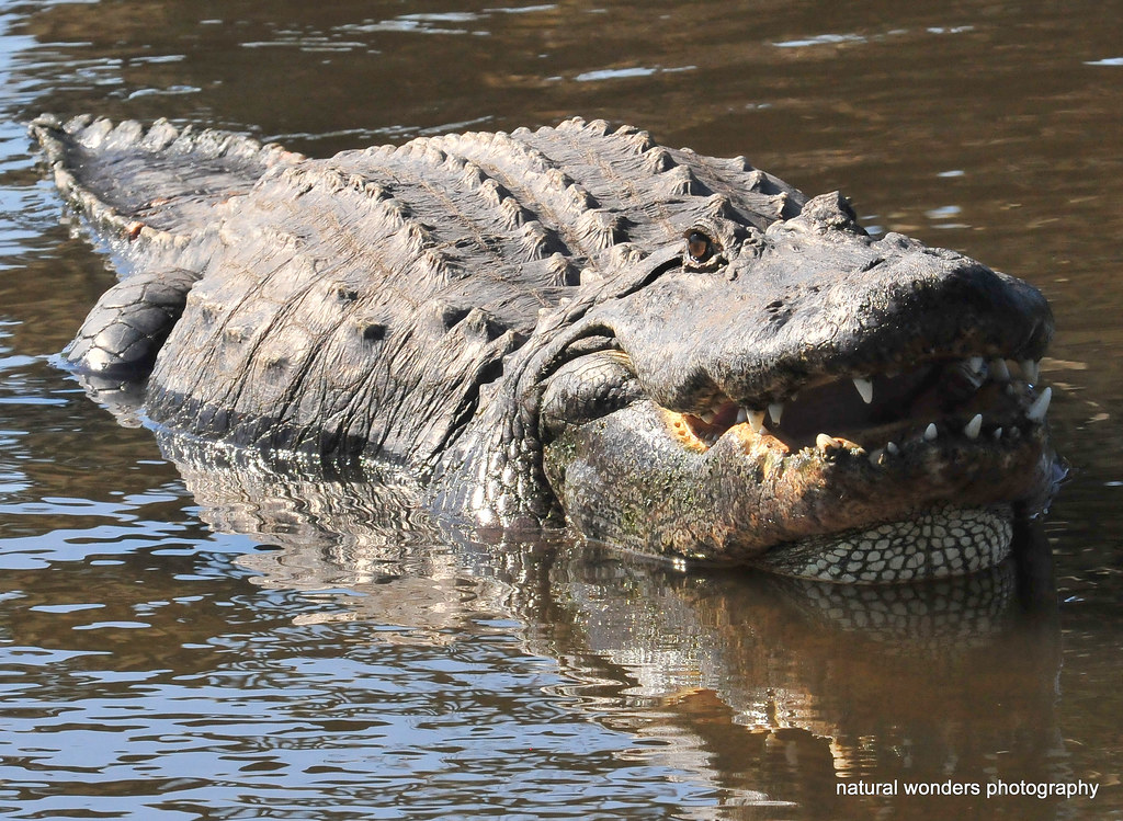 Big bull gator practicing his mating bellow | These guys ...