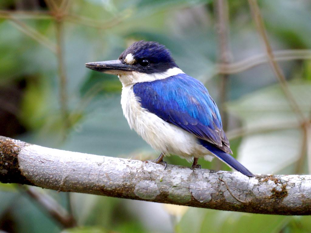 forest kingfisher  todiramphus macleayii