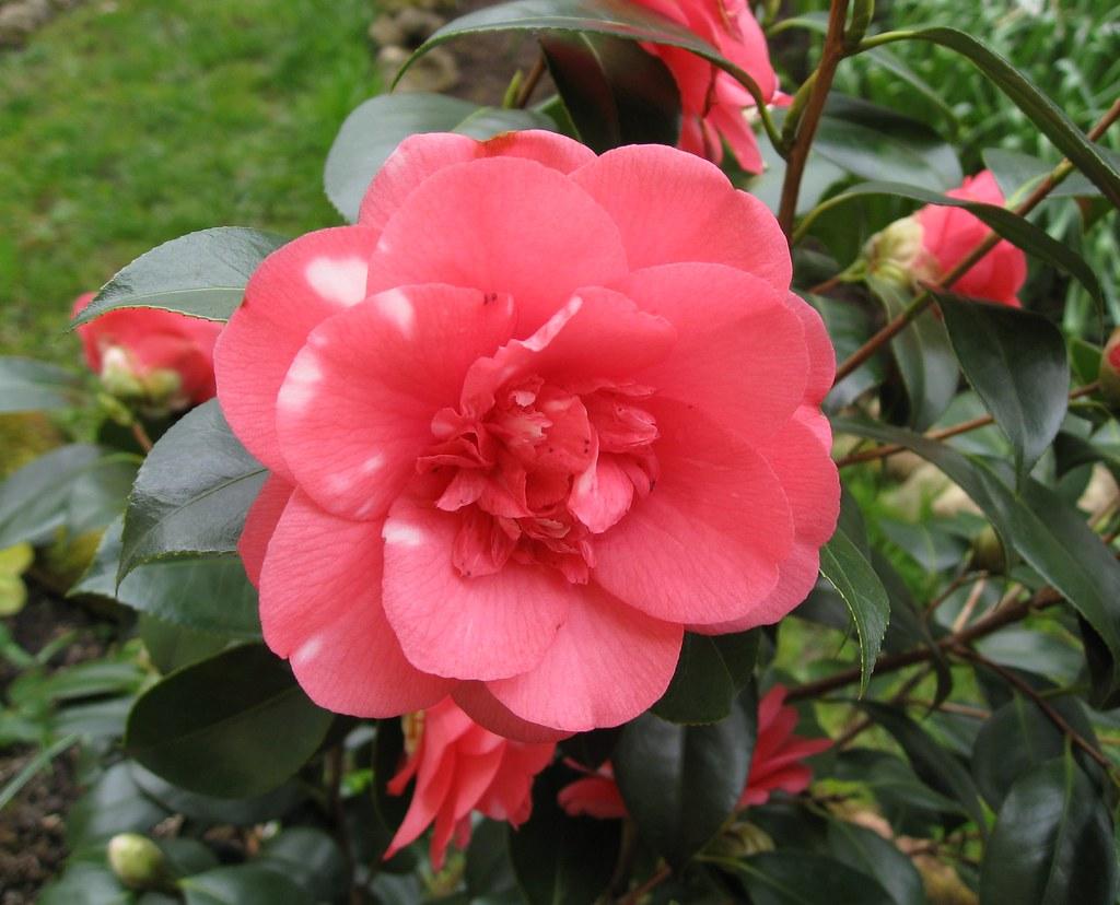 Pink Camellia Flower Char Flickr