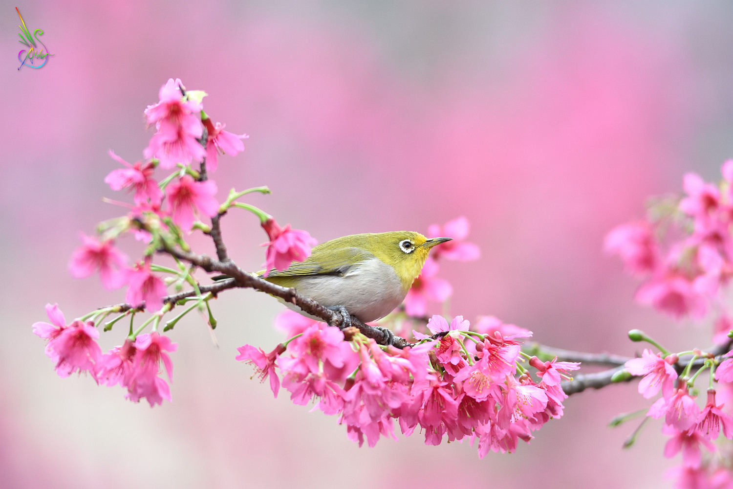 Sakura_White-eye_5944