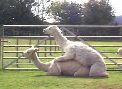 Llamas Sex 107