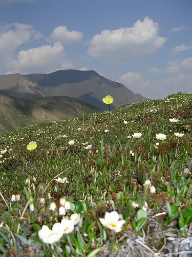 Macouns Poppies and Mountain Avens | by Alasdair Veitch