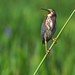 Green Heron on Reed (Wild Bird)