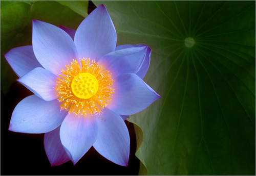 Blue lotus flower blue lotus flower bahman farzad flickr blue lotus flower by bahman farzad mightylinksfo