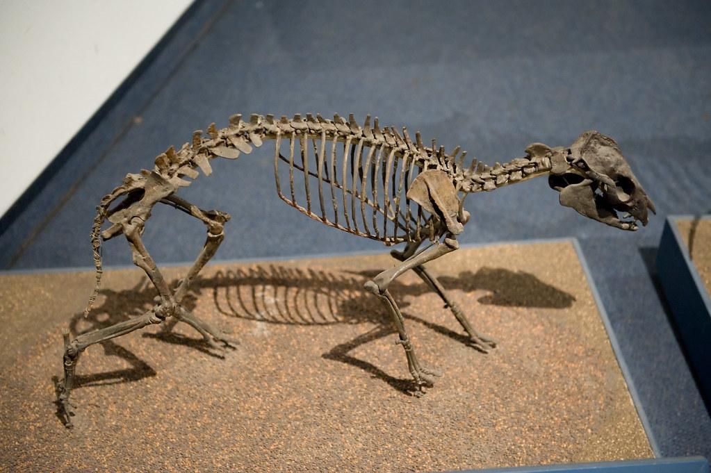 Genus Hyracotherium Fossil