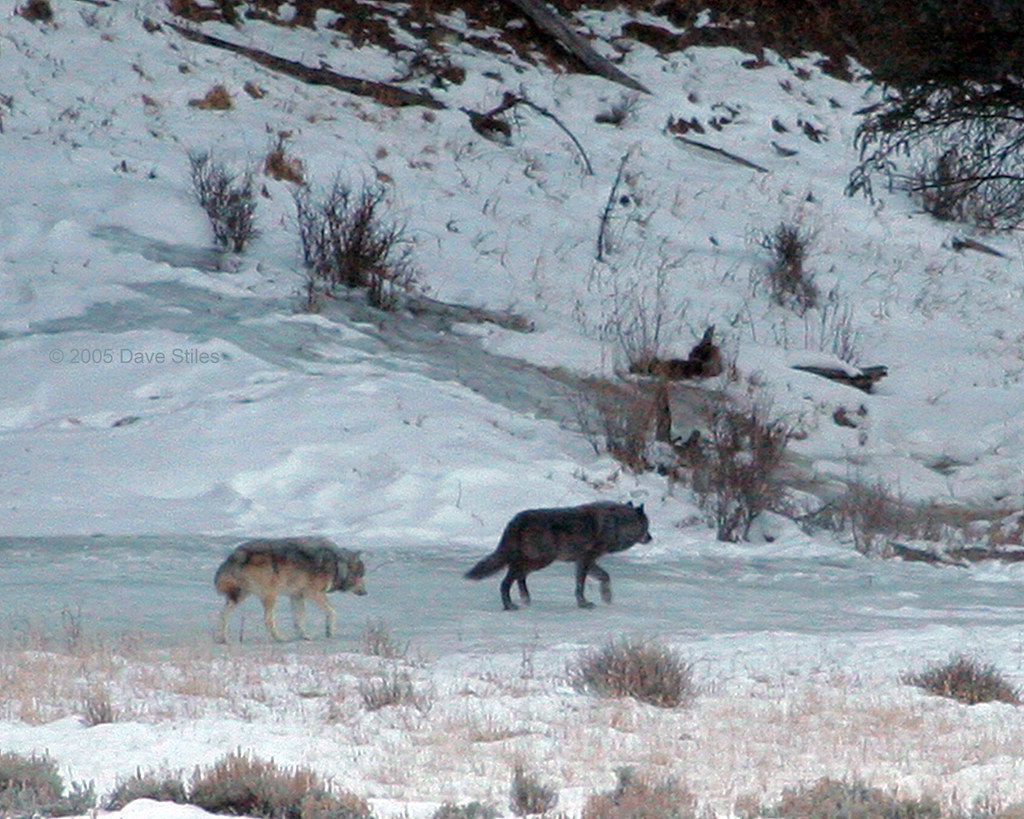 slough creek wolf pack yellowstone during the fall of