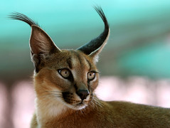 caracal eyes | by AnyMotion