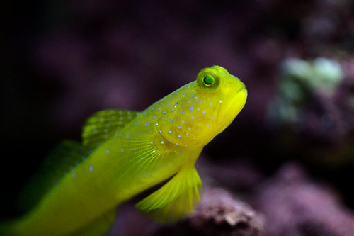 Yellow Watchman Goby | by dafrog418