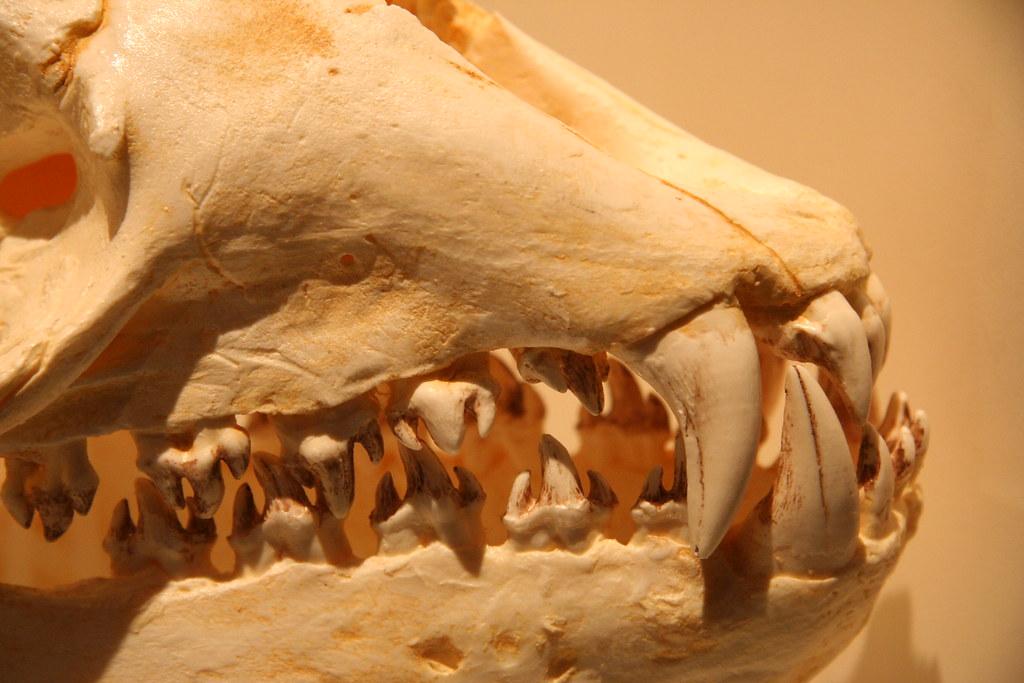 Leopard seal teeth