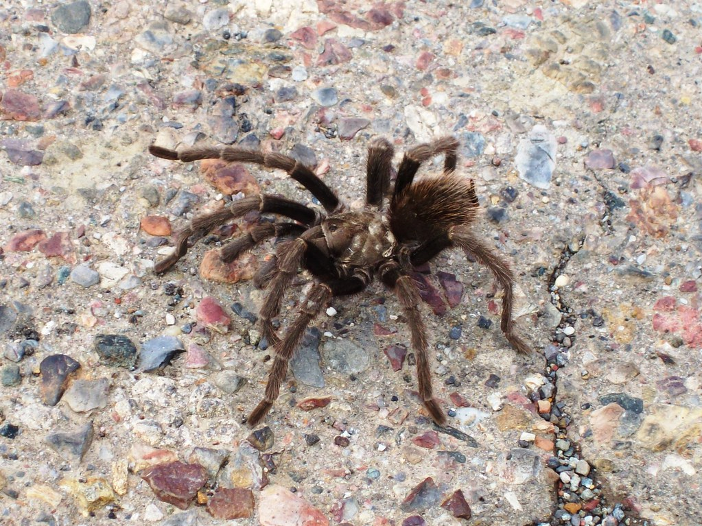 Tarantula Crossing The Road Outside Of New Idria Ca Newi