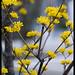 Yellow blossoms, Mino-shi