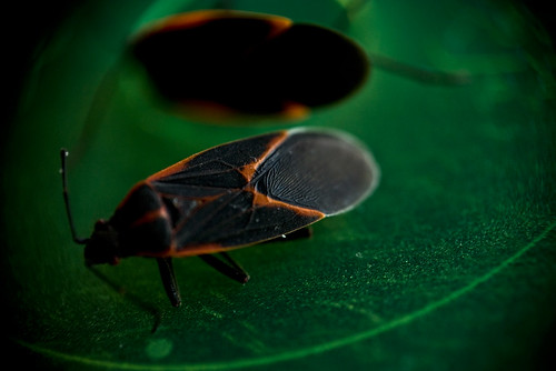 Box Elder Bug | by karmadude