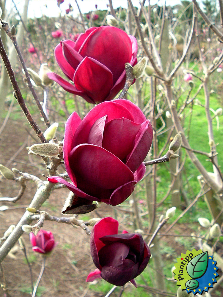 magnolia soulangeana x liliiflora genie magnolia genie is flickr. Black Bedroom Furniture Sets. Home Design Ideas
