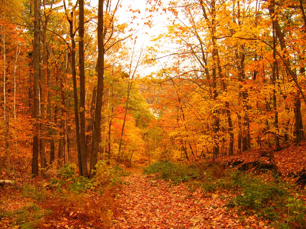 Autumn Forest Scene In Muskoka A Forest At The Peak Of