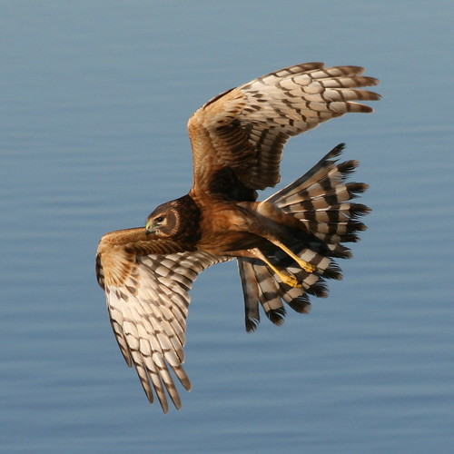 Northern Harrier-IMG_1671-MV baylands-Crop | by gimlack