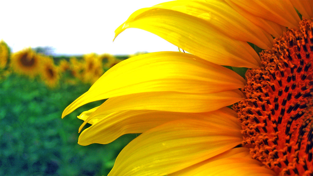 Sunflower Landscape | ...
