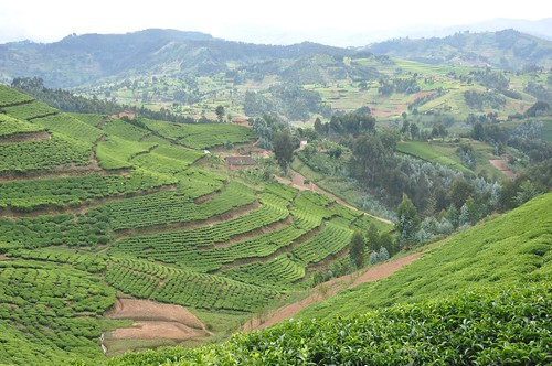 Tea plantation | by Peter Gostelow