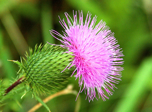 Pink Spiky Thingy is T...
