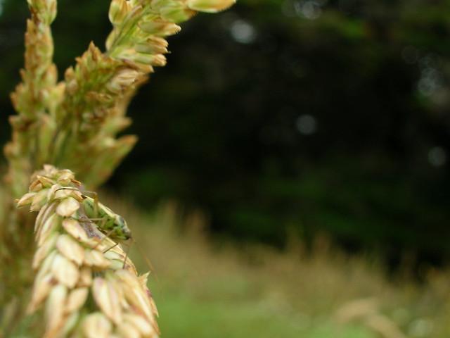 single wheat stalk   Explore The Final Degree's photos on ...