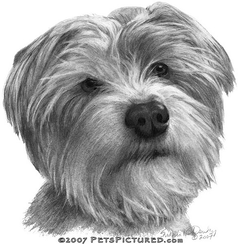 Shih Tzu Cairn Terrier Mix Shih tzu-cairn terrier mix