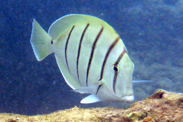 Snorkeling With Tropical Fish Hanauma Bay Oahu Hawaii Flickr