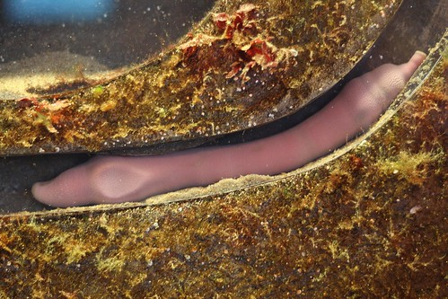 fat innkeeper worm (urechis caupo) | by peter_r