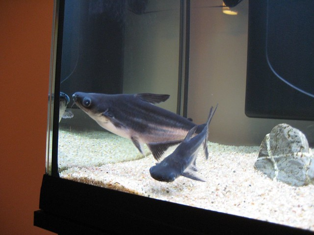 Pangasius fish mordax flickr for What is pangasius fish