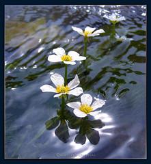 Fiori sarca ranuncoli acquatici ranunculus trichophillus for Fiori acquatici