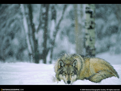 winter wolf laying down in snow alexanne stone flickr