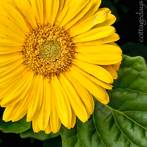yellow gerbera daisy | by Cottage Days