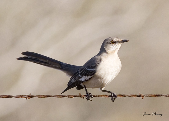 mockingbird the texas state bird jason penney flickr