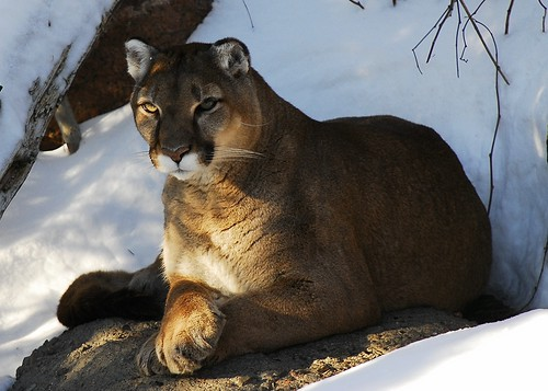 Cougar | by Rock Arsenault