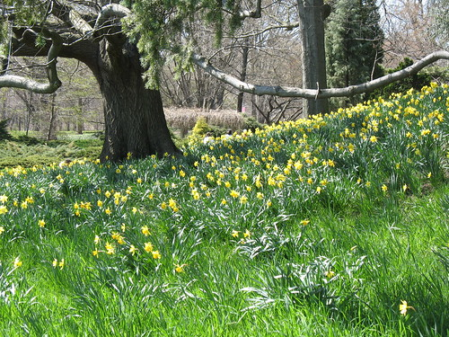 Daffodil Hill | by Brooklyn Botanic Garden