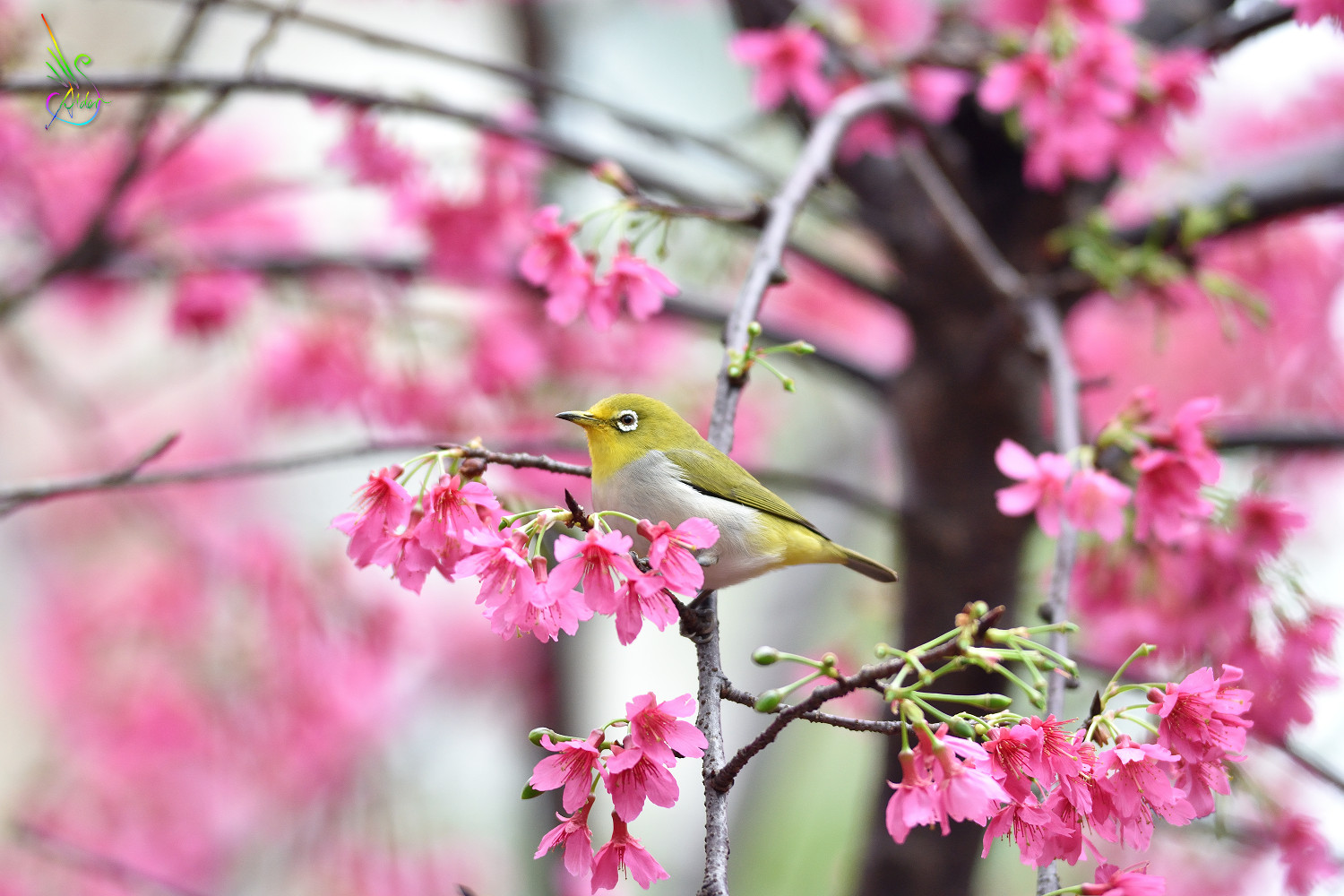 Sakura_White-eye_5531