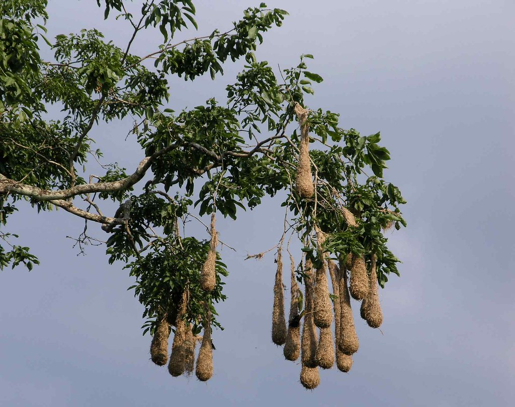 Hanging Bird Nests Nidos De P 225 Jaros Santa Barbara Hon Flickr