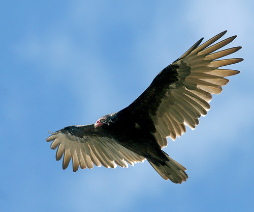 A Turkey Vulture | by The Nature Nook