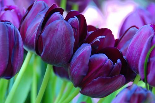 Black Tulip Queen Of The Night Keukenhof Tulip Garden