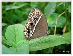 Mycalesis perseus typhlus - Common bush brown | by Dr.K.Saji