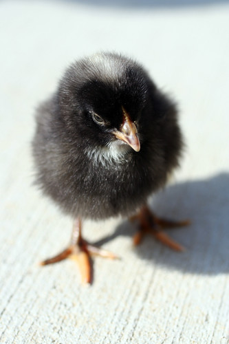 Baby Clementine Barred Plymouth Rock Chicken Baby