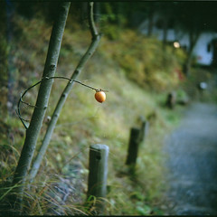 a persimmon | by sizima