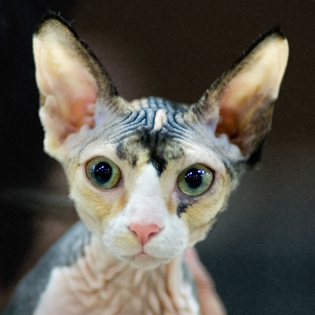 cheetah print cat