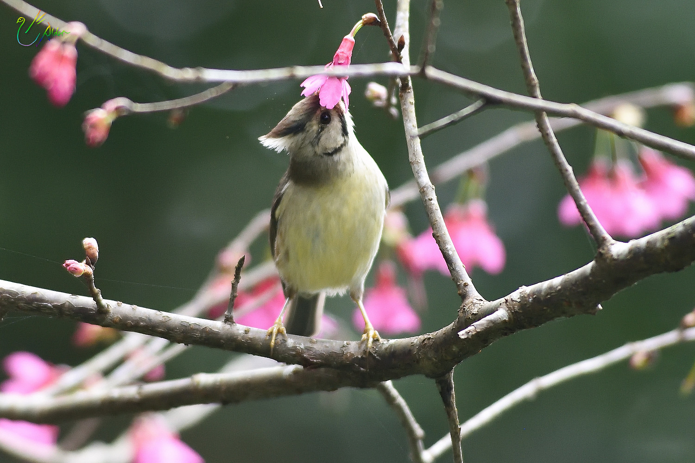 Taiwan_Yuhina_1596