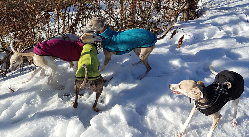 Whippetmeeting