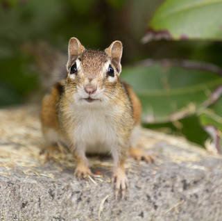 Chipmunk (waiting for me to go away) | by eleivory