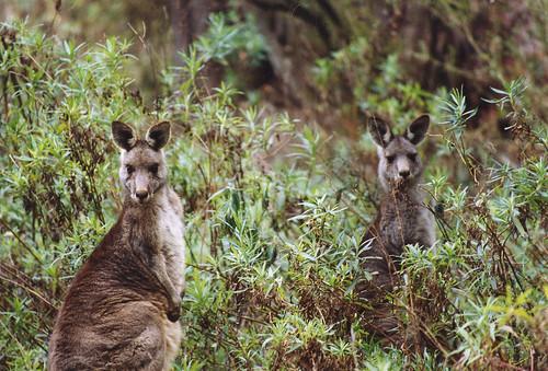 Eastern Grey Kangaroos At Jenolan Caves I Took This