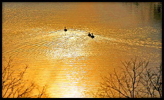 ~welcome back, Canada geese | by Anne Strickland