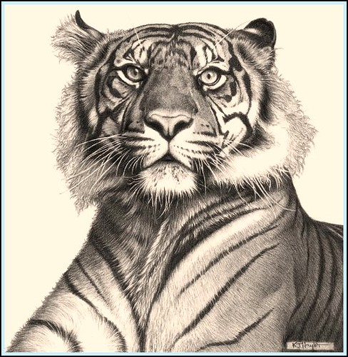 tiger rising fine art pencil drawings tiger rising