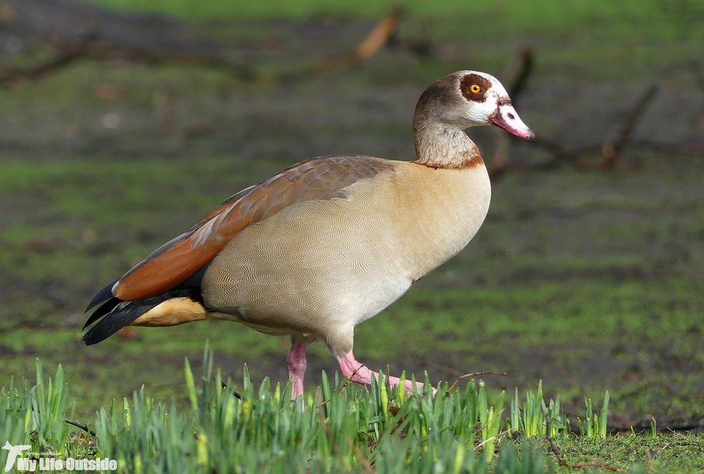 P1060686 - Egyptian Goose, London