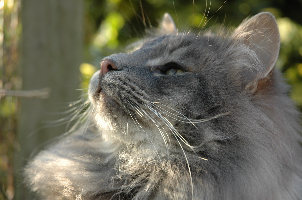 Blue Tabby Norwegian Forest Cat