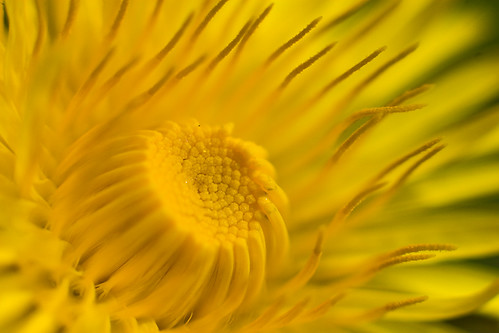 Image Result For How Much Dandelion